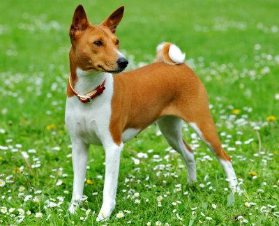 Basenjii cão que não late