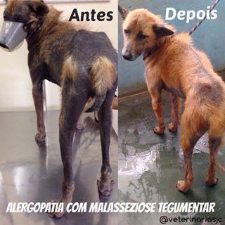 Caso clínico cão Dourado – Alergopatias