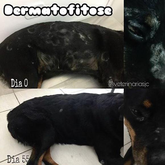 Dermatofitose em cães e gatos – Diagnostico, Tratamento, Prevenção e Contagio