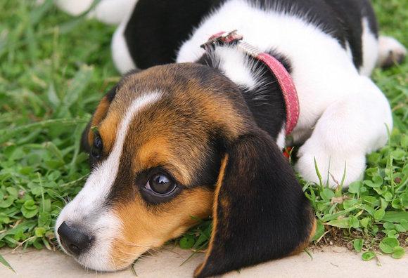 Como identificar o stress em seu cãozinho
